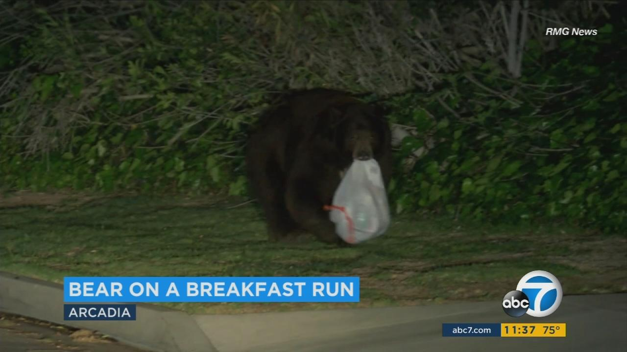 A large bear was filmed carrying off bags of trash from garbage cans in a Los Angeles County neighborhood.