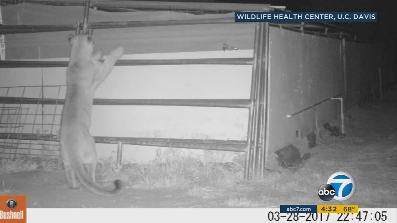 A mountain lion spotted in Trabuco Canyon, an area where residents are concerned about their safety and the safety of their animals.