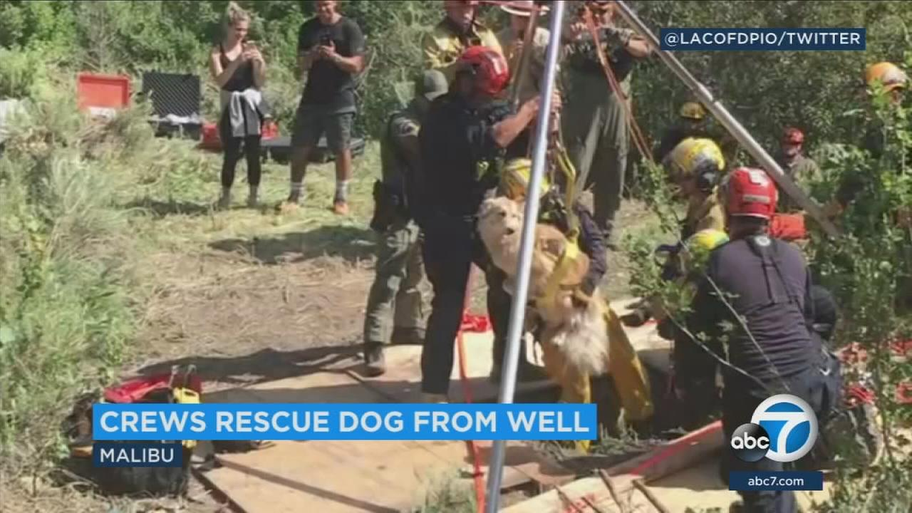 Los Angeles County firefighters safely pull Lucy out of a 30-foot deep well in the Santa Monica Mountains Sunday afternoon.