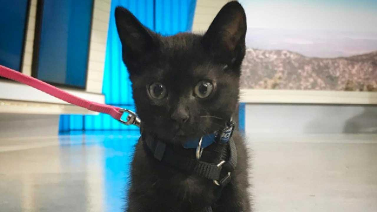 Our ABC7 Pet of the Week on Thursday, May 4, is Midnight, a 3-month-old domestic shorthair cat. Please give her a great home!