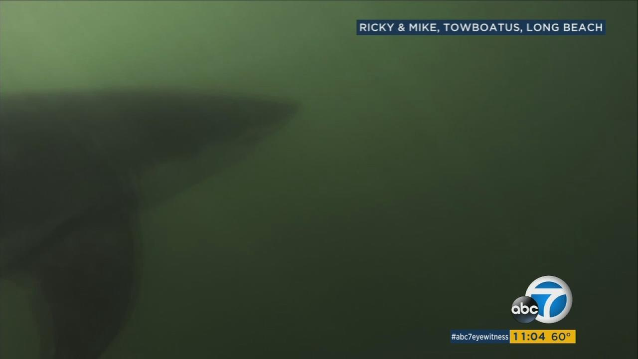 A great white shark is shown off the Long Beach coast in a video captured by a boat tow man.