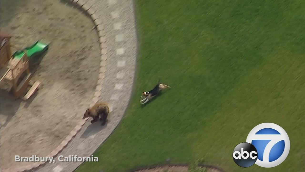 A small dog took on a big bear in the yard of a home in the San Gabriel Valley Tuesday.