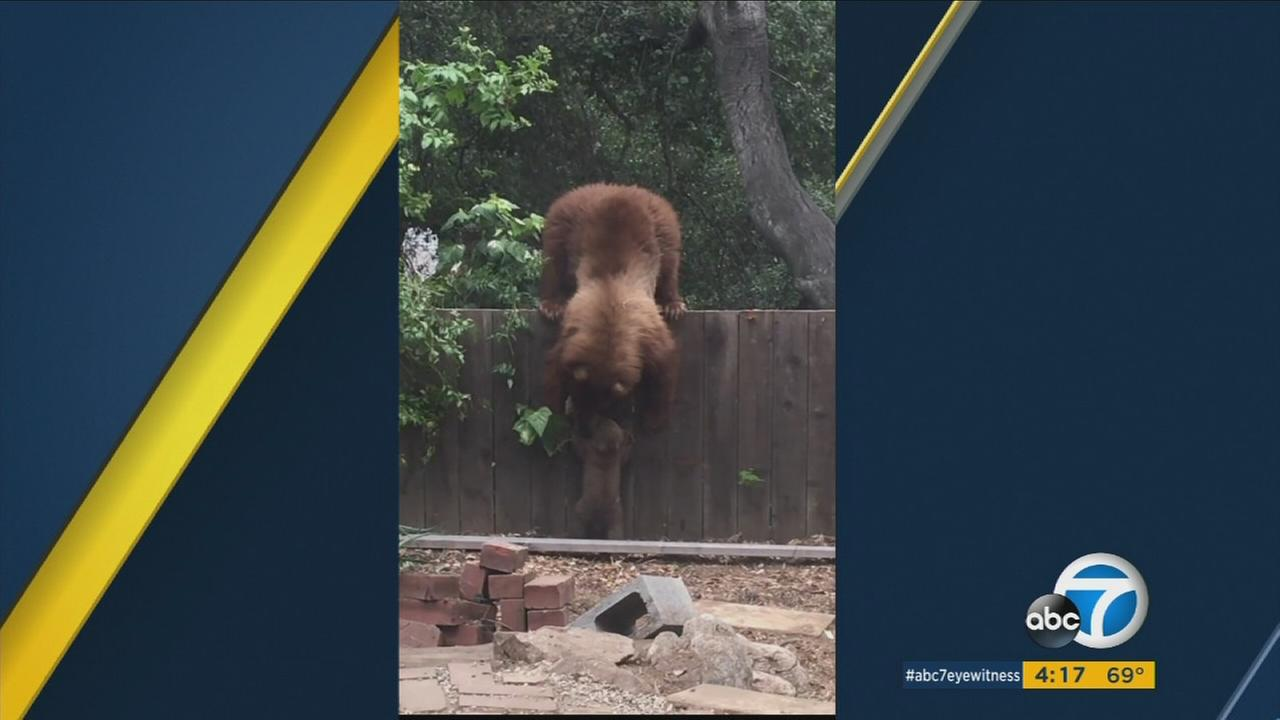 A mother bear reaches over a fence in an effort to pick up her cub and get it out of a backyard in Altadena on Friday, May 26, 2017.