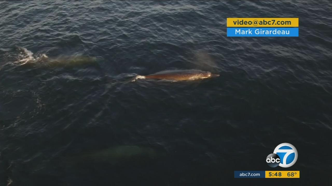 An eyewitness caught drone footage of an extremely rare whale species in Monterey Bay.