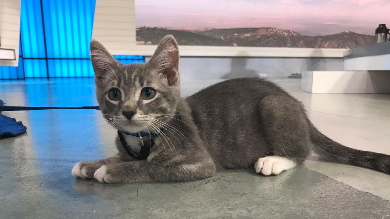 Jerry, a 3-month-old kitten, is shown at the ABC7 studios on Thursday, June 8, 2017.