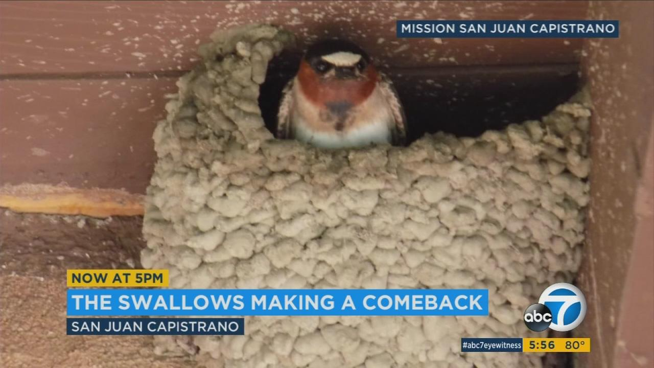 The famous San Juan Capistrano swallows are making a comeback to the mission.