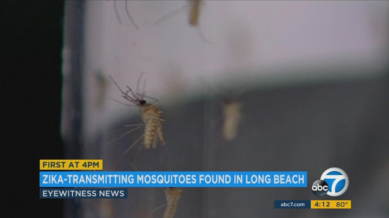 The type of mosquito that can carry and transmit Zika and other viruses has been detected in Long Beach for the first time ever, according to the Long Beach Department of Health and Human Services.