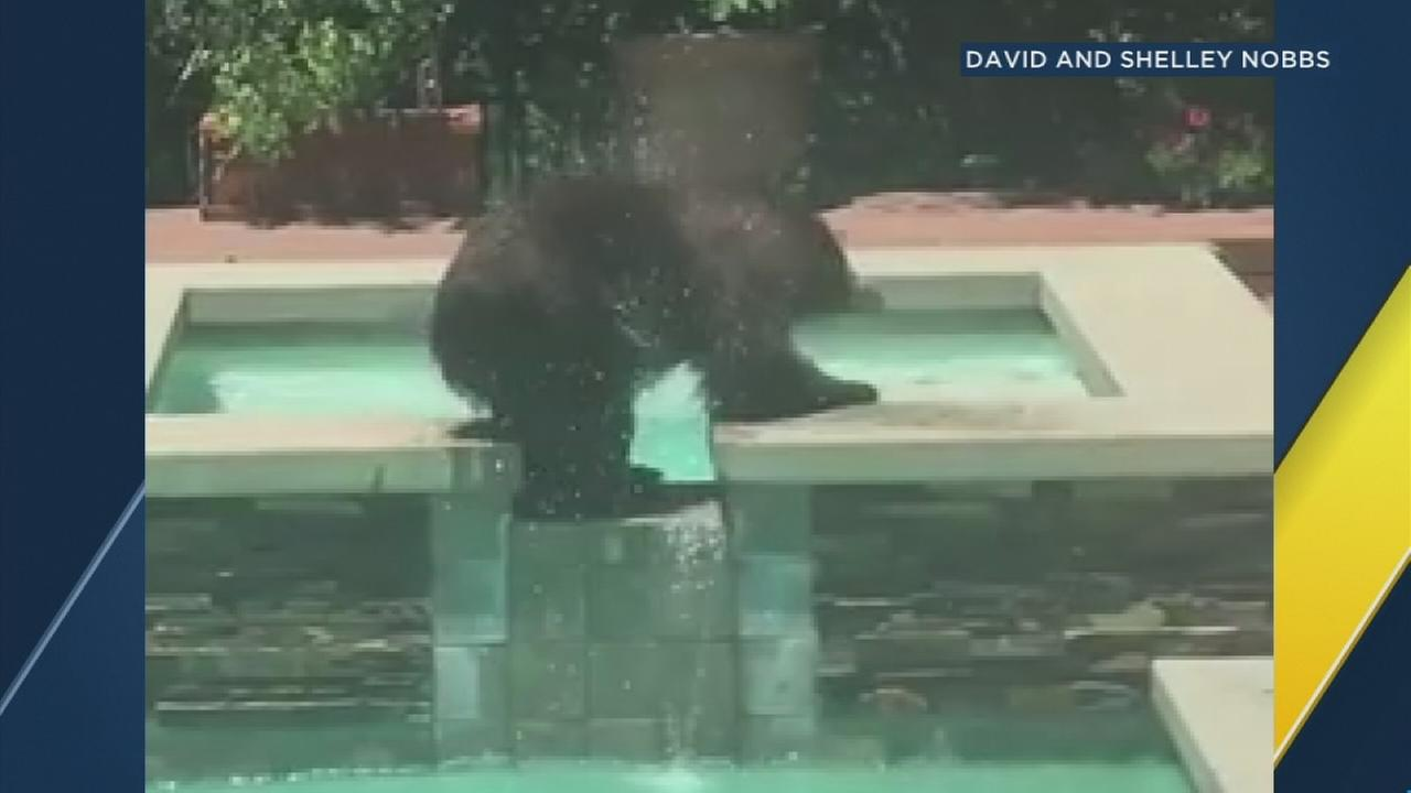 A bear took a refreshing dip in a backyard pool in La Verne on Wednesday, June 28, 2017.