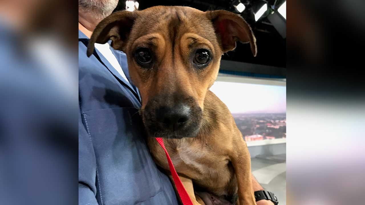 Our ABC7 Pet of the Week on Tuesday, July 4, is Julie, a 2-year-old Manchester Terrier mix. Please help give her a good home!