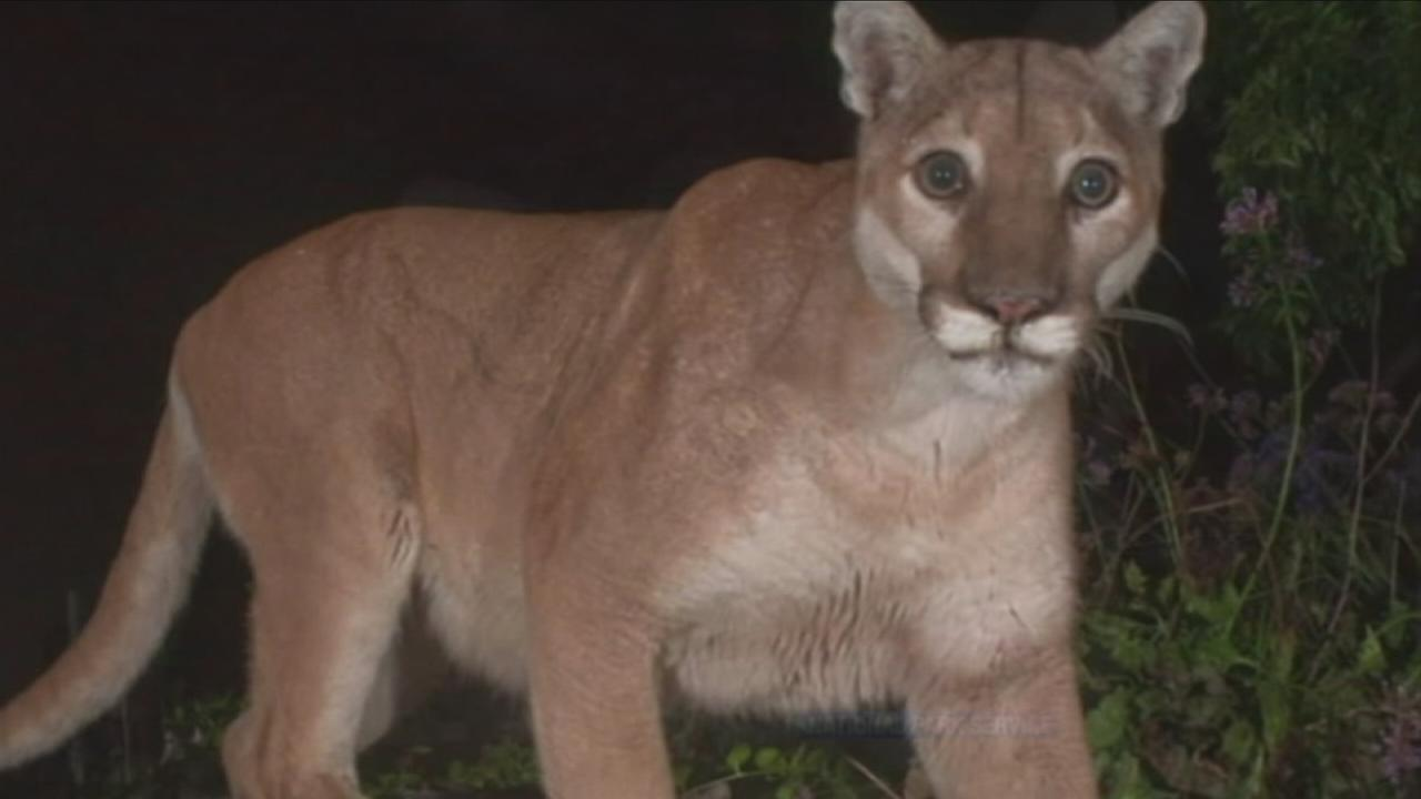 Los Angeles famous mountain lion P-22 is shown in an undated photo.