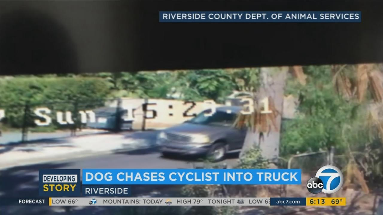 Surveillance video shows a truck on the street as a cyclist crashes into the back of it while he was being chased by a dog in Riverside.