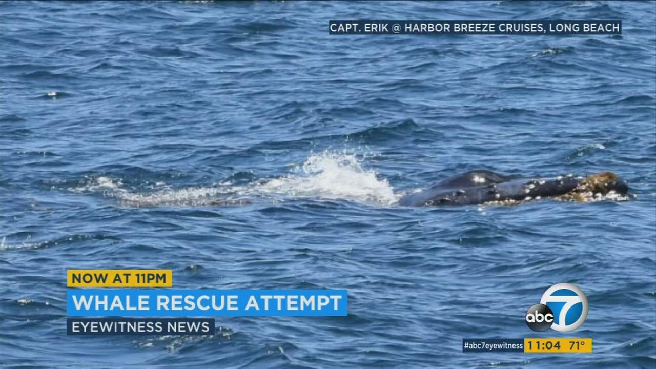 An entangled humpback whale is shown in a photo taken by a whale watching captain off the Palos Verdes coast on Saturday, July 29, 2017.
