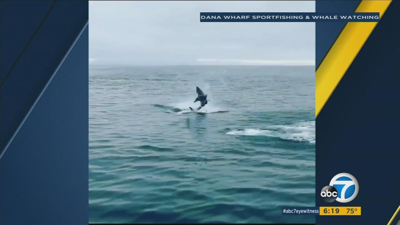 WATCH: Huge mako shark surprises passengers aboard a ship in OC with a show