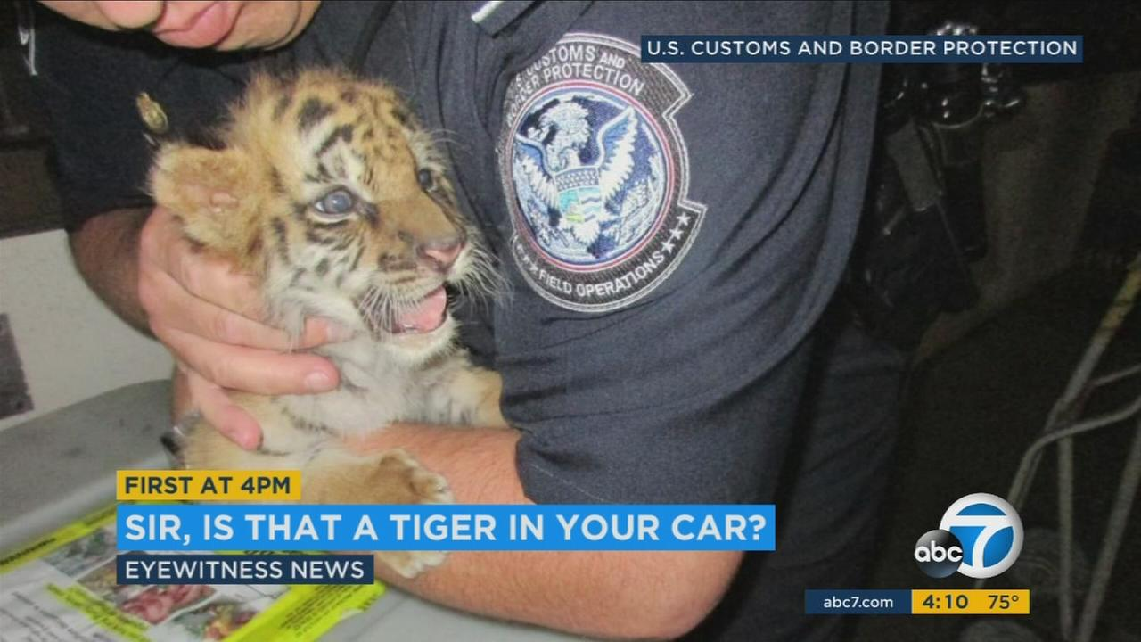 The 18-year-old U.S. citizen, who lives in Perris, said he had purchased the tiger for $300 from someone who was walking a full-sized tiger on a leash in Tijuana, according to court documents.