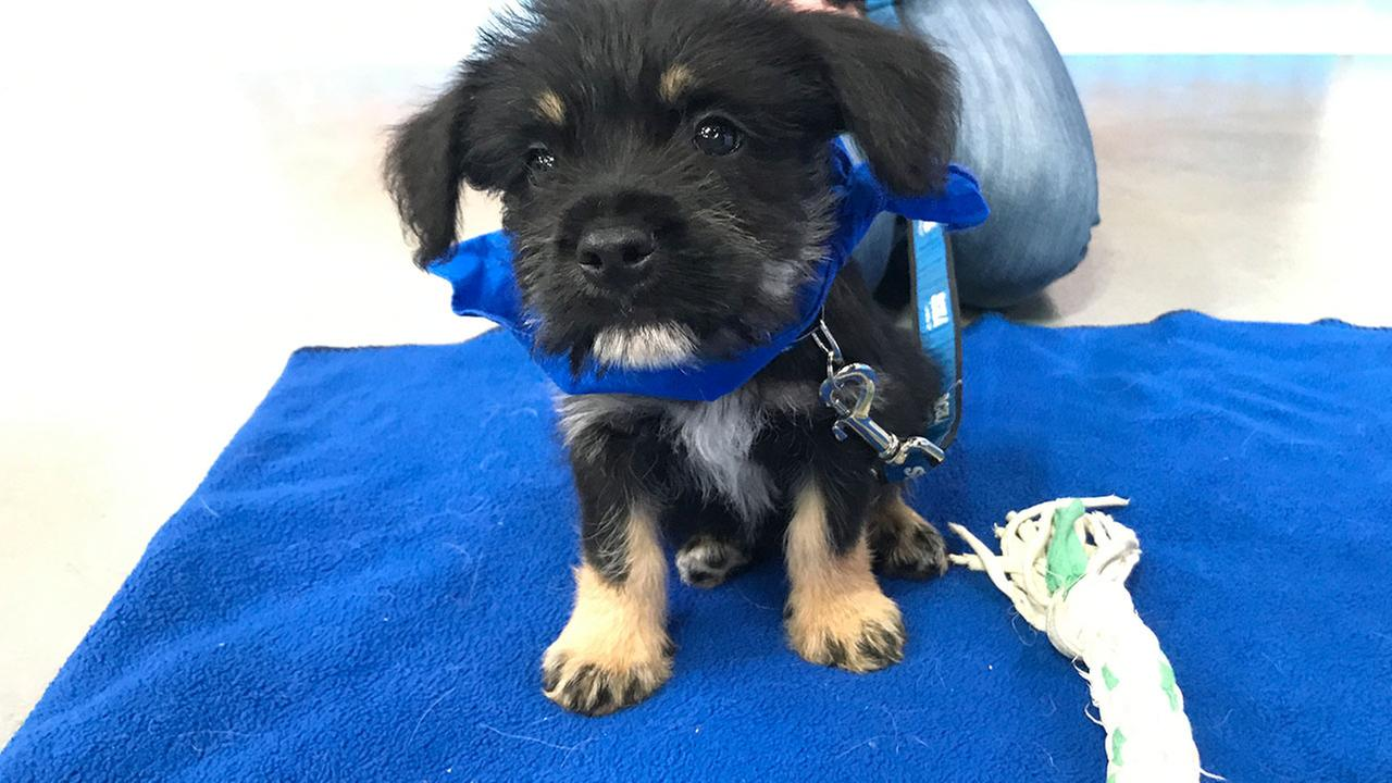 Our ABC7 Pet of the Week for Thursday, Sept. 7, is a male terrier mix puppy named Smush. Please give him a loving home!