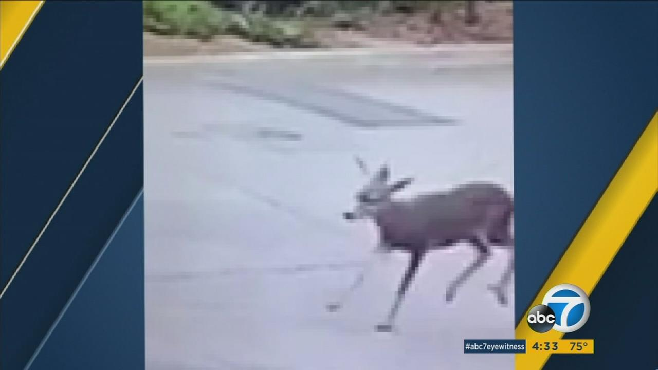 A deer with an arrow in it is shown wandering through a Monrovia neighborhood.