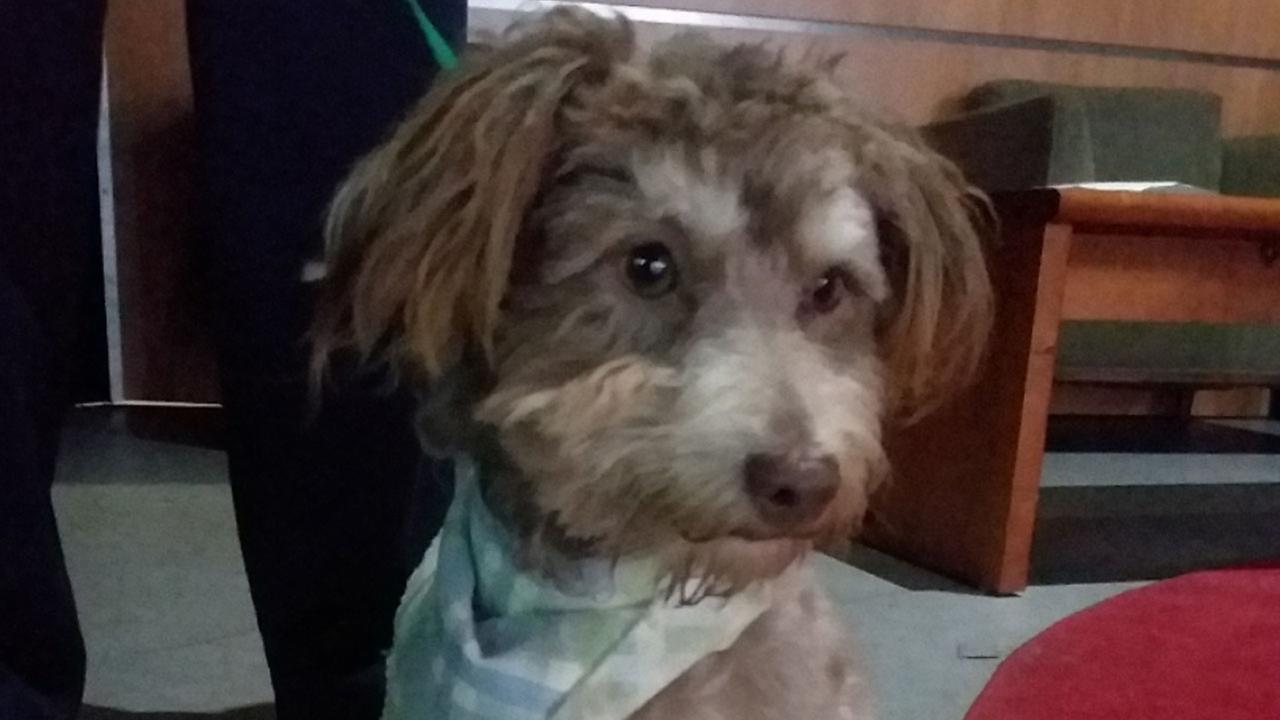 Our ABC7 Pet of the Week for Tuesday, Sept. 19, is a male poodle mix named Snickers. Please give him a loving home!