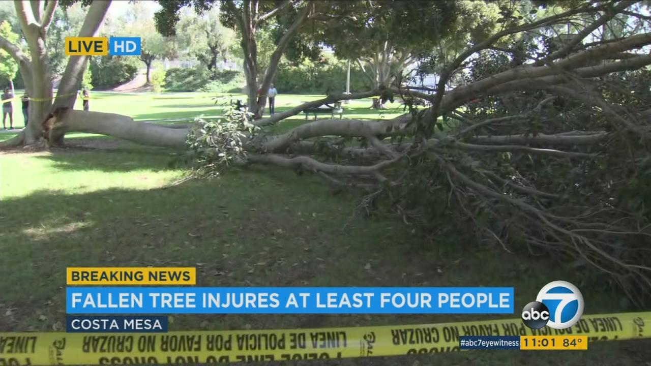 A portion of a tree seen on the ground after falling on at least four seniors at a Costa Mesa park on Monday, Sept. 25, 2017.