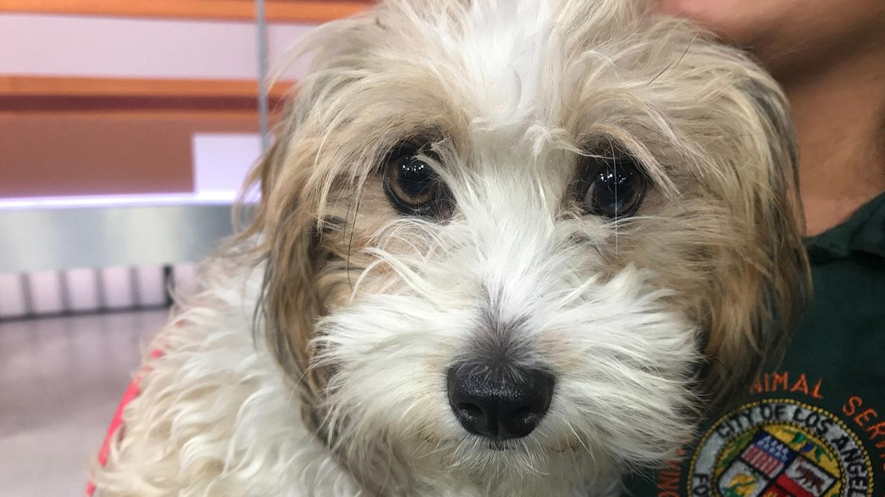 Pet of the Week: Maltese poodle mix named Cookie