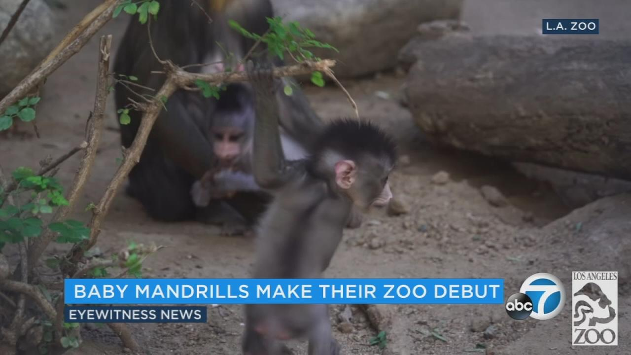 Los Angeles Zoo welcomes baby two Mandrill monkeys