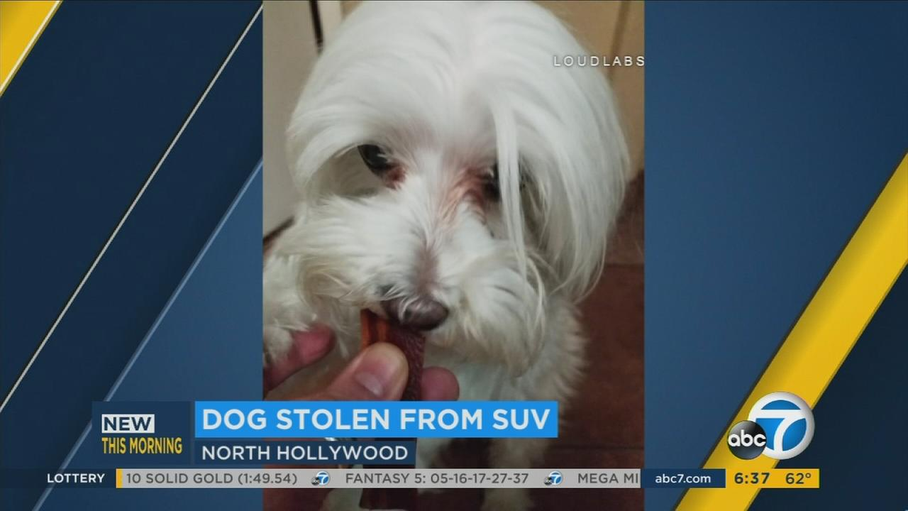 An undated photo of Bandit, a 10-year-old Maltese who was taken from a familys SUV in North Hollywood.