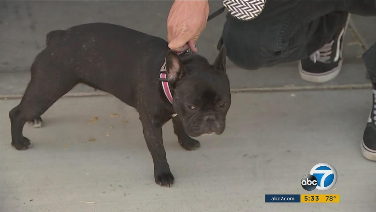 A one-year old French bulldog is back home with its owner in Phelan after running away during the harrowing moments of the massacre in Las Vegas.