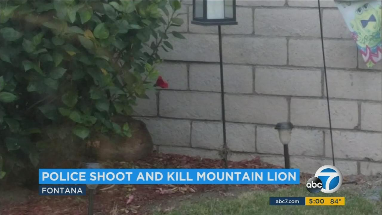 A mountain lion was shot and killed in a Fontana neighborhood in the morning hours of Tuesday, Oct. 17, 2017.