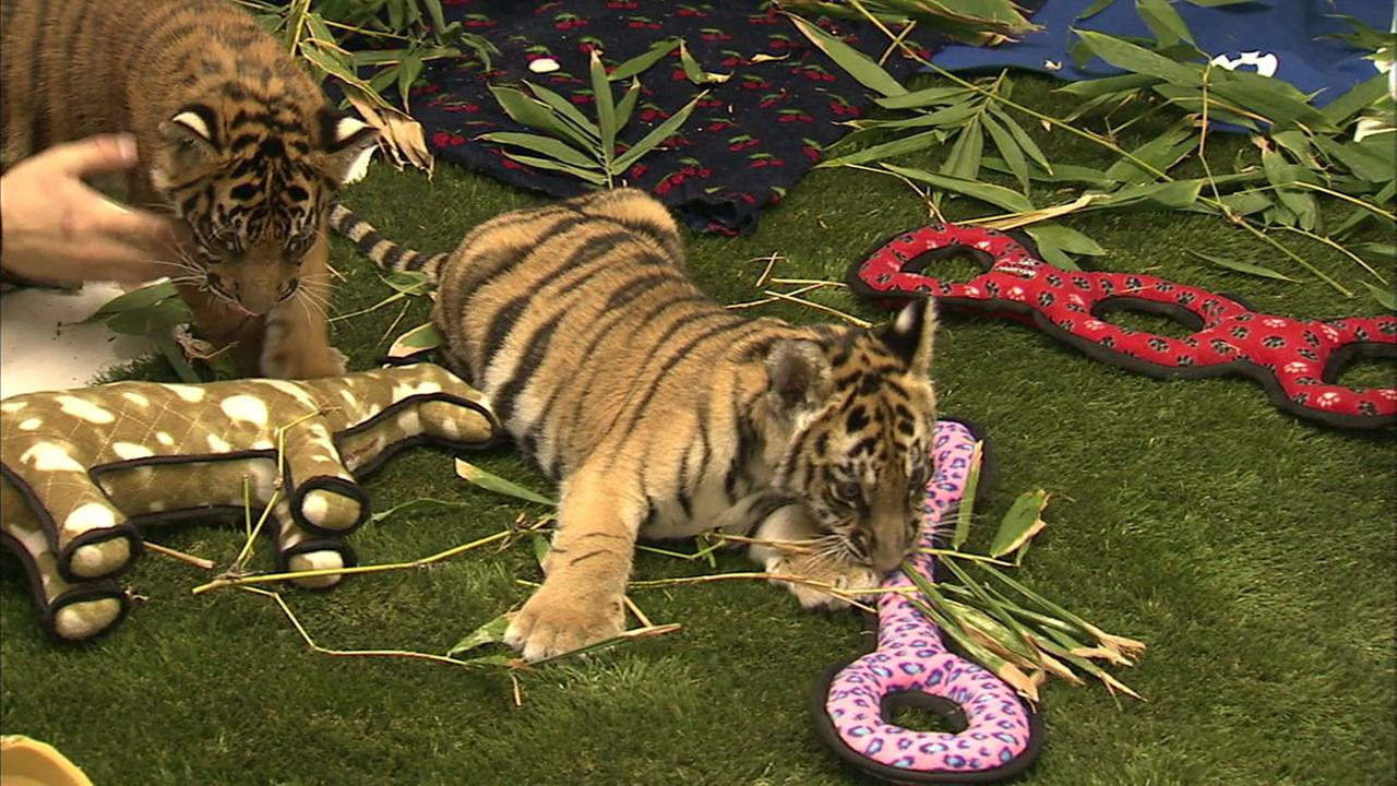 Two Bengal tiger cubs are shown in an exhibit after they were smuggled into Los Angeles County.