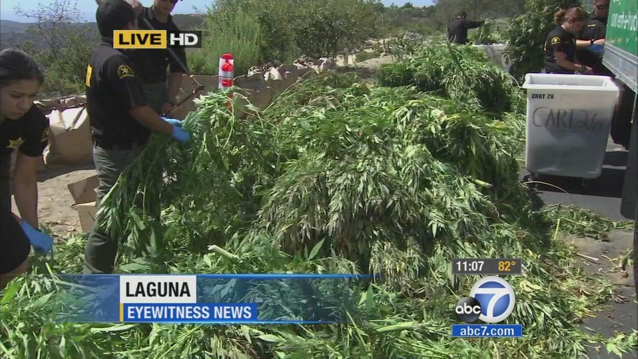 Thousands of marijuana plants were discovered in a remote canyon in Laguna Wilderness Park on Friday, Aug. 15, 2014.