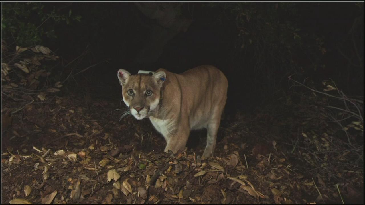 Mountain lion P-22 is shown in an old photo taken of him in the Santa Monica Mountains.