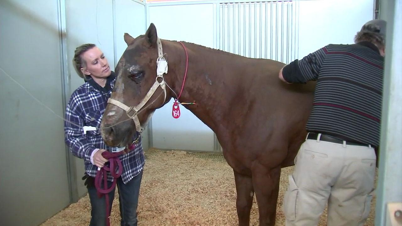 A severely injured horsed named Chaparra is shown being treated at Pierce College in Woodland Hills.