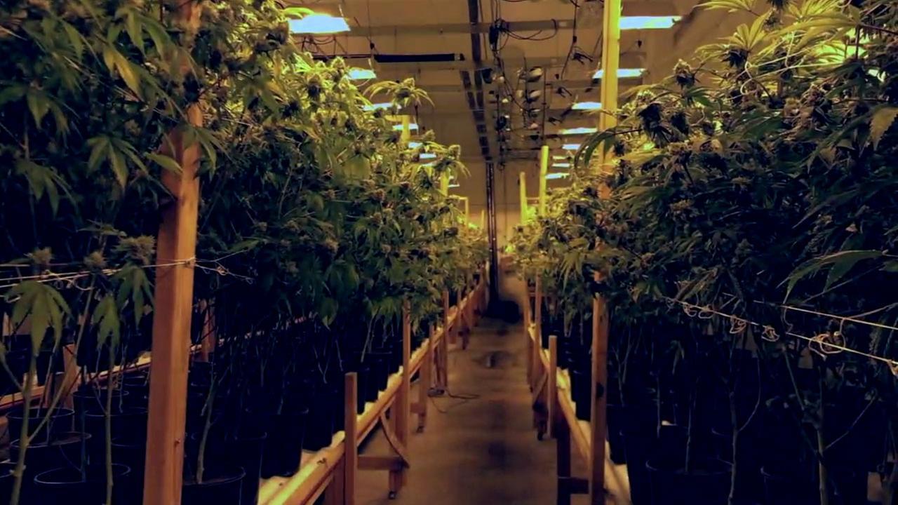 A marijuana grow with dozens of plants inside is shown.
