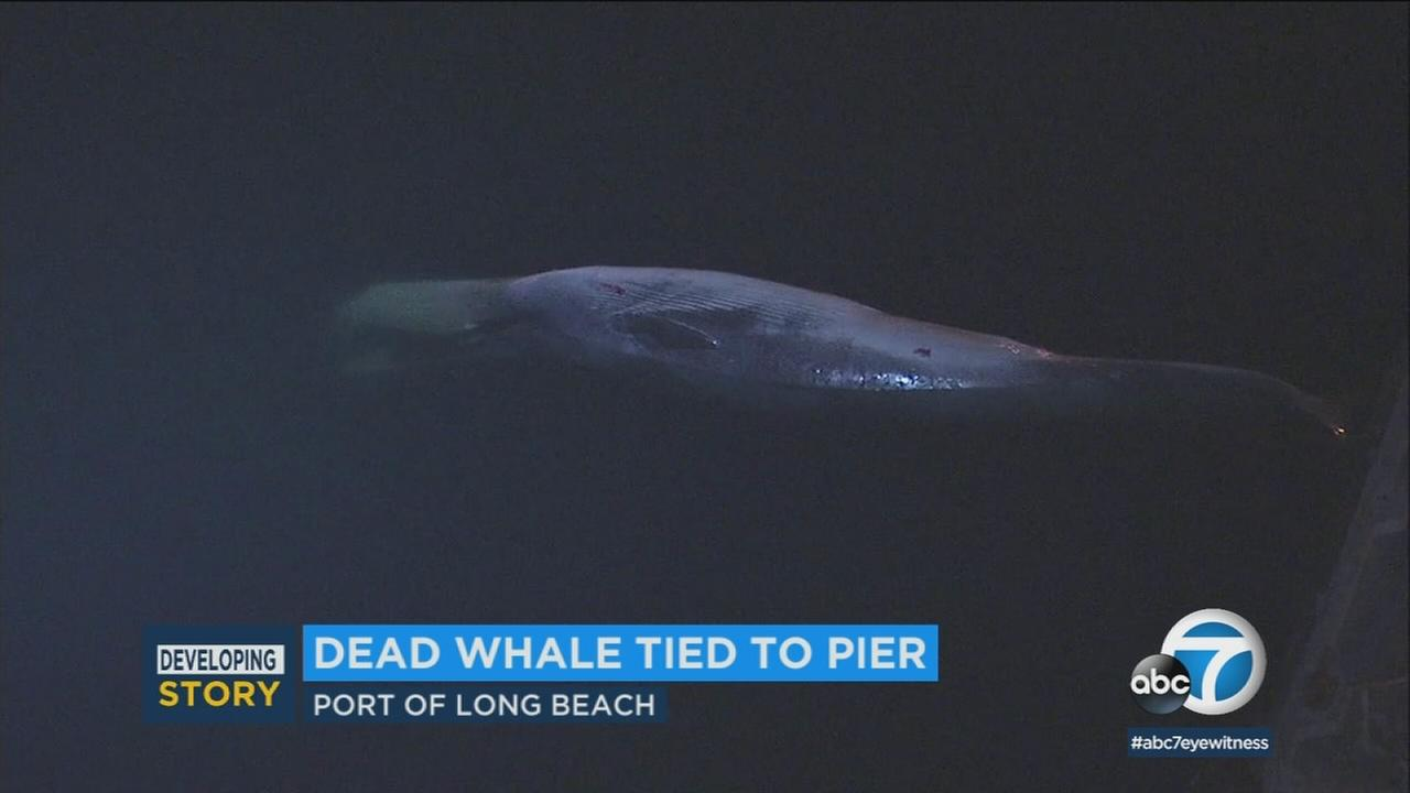 A dead whale was found in waters near the Port of Long Beach and its body remained tethered to a pier Thursday morning amid an investigation into the mammals cause of death.