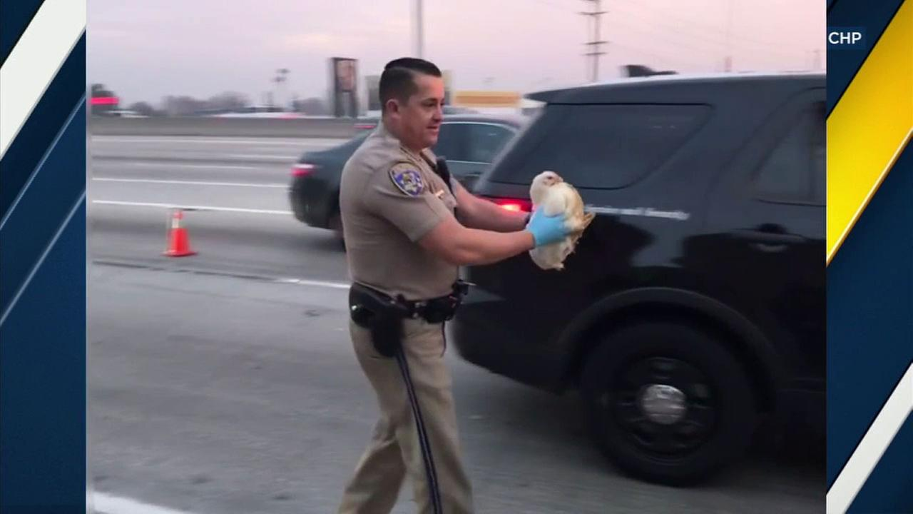 California Highway Patrol officers were on poultry patrol when a mishap resulted in chickens running loose on the 605 Freeway.