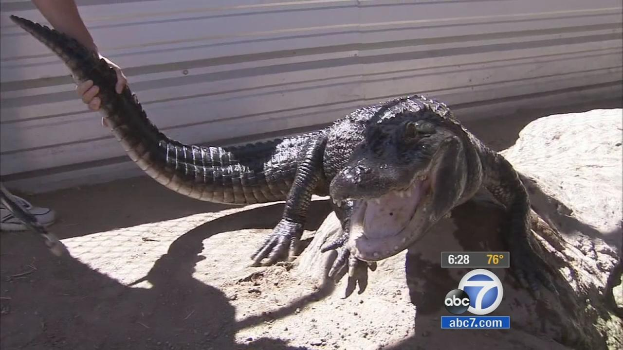 Chopper the alligator of Rancho Cucamonga is seen in this undated file photo.