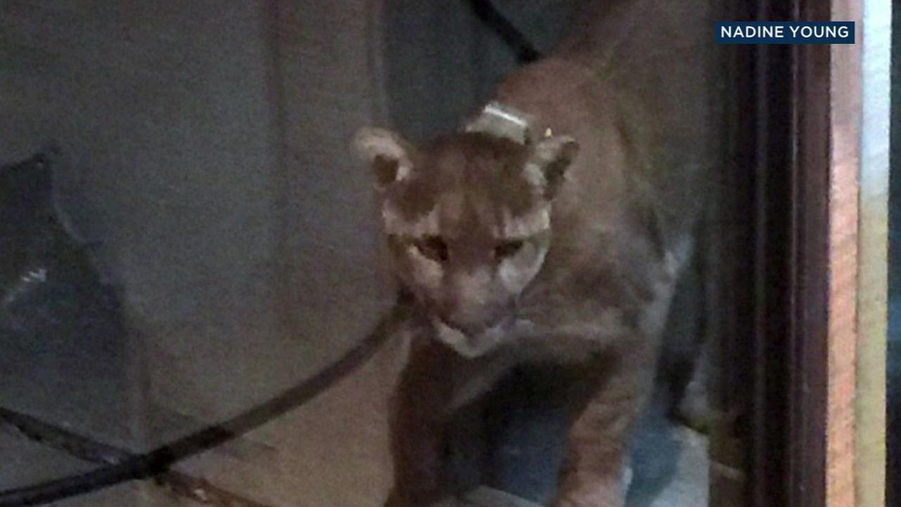 A mountain lion that banged its head against a glass back window at a Westlake Village home is shown in a photo captured by homeowner, Nadine Young.