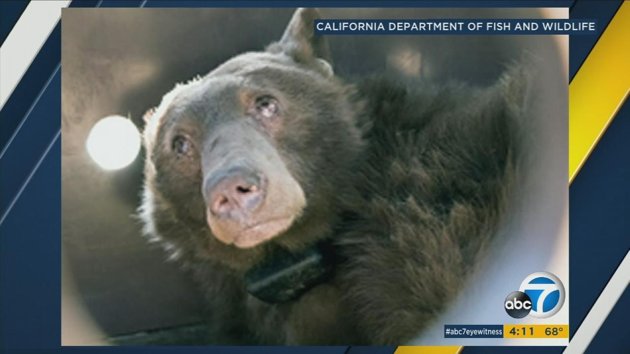 One of two bears burned in the Thomas Fire is shown in a photo.
