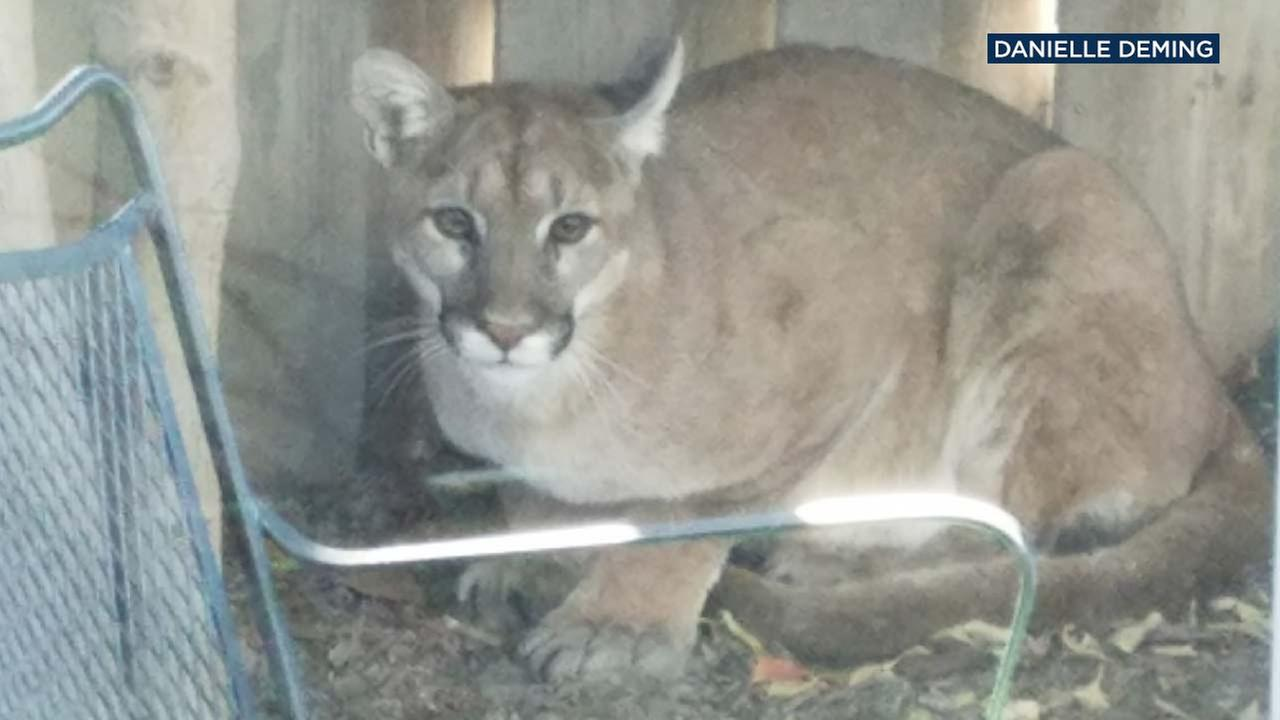 Danielle Deming and her 11-year-old son came across a mountain lion outside their home in Irvine last week.