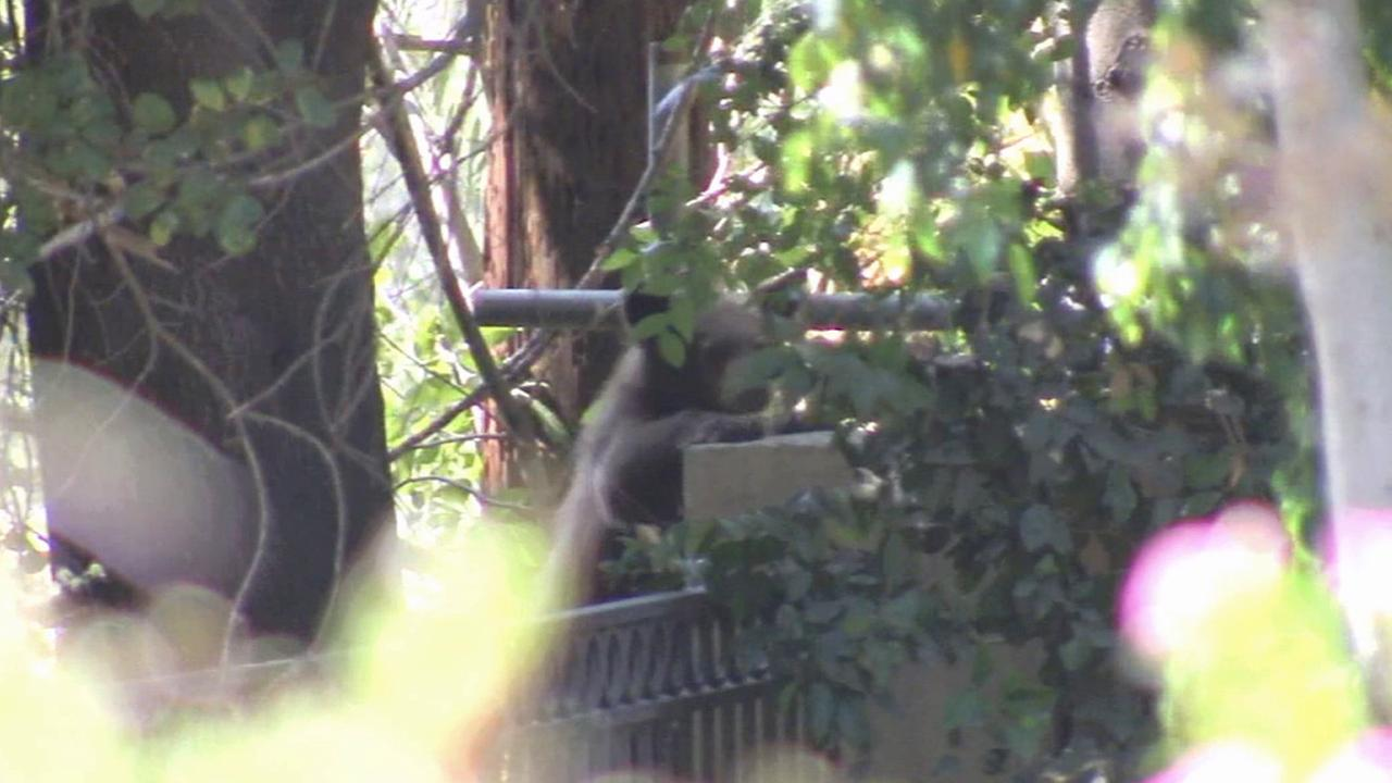 A bear cub is seen in Duarte on Sunday, Sept. 21, 2014.