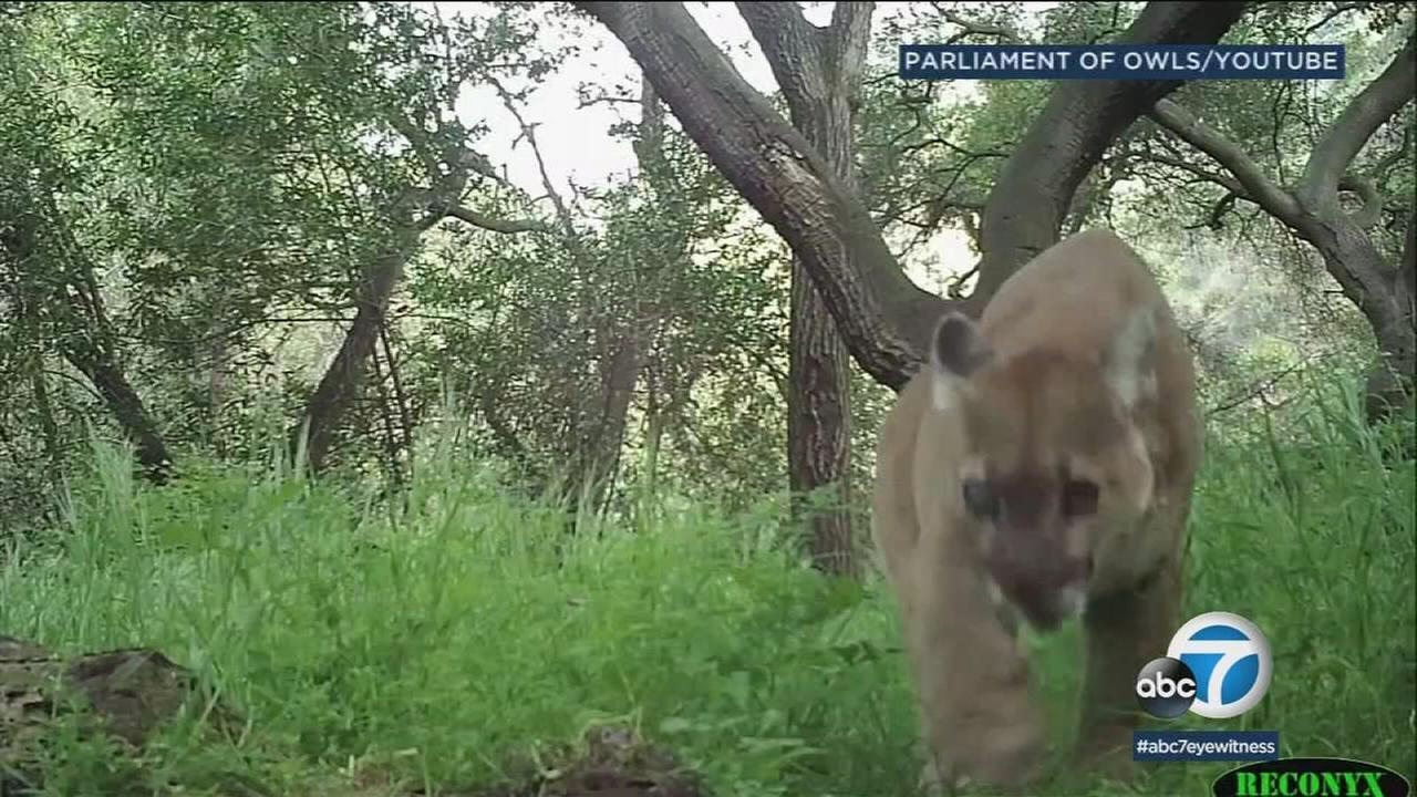Wildlife videographer Robert Martinez said the older mountain lion with a cloudy eye that was spotted in an Azusa backyard on Monday was a familiar sight in the footage hes shot in the area.