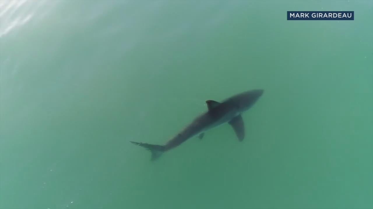 2 great white sharks spotted near Dana Point coast