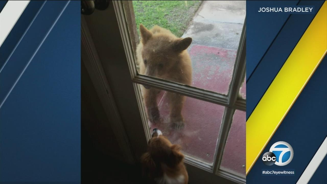 A bold bear cub came face-to-face with a family dog in Monrovia, and other bears wandered in the driveway and front yard of homes.