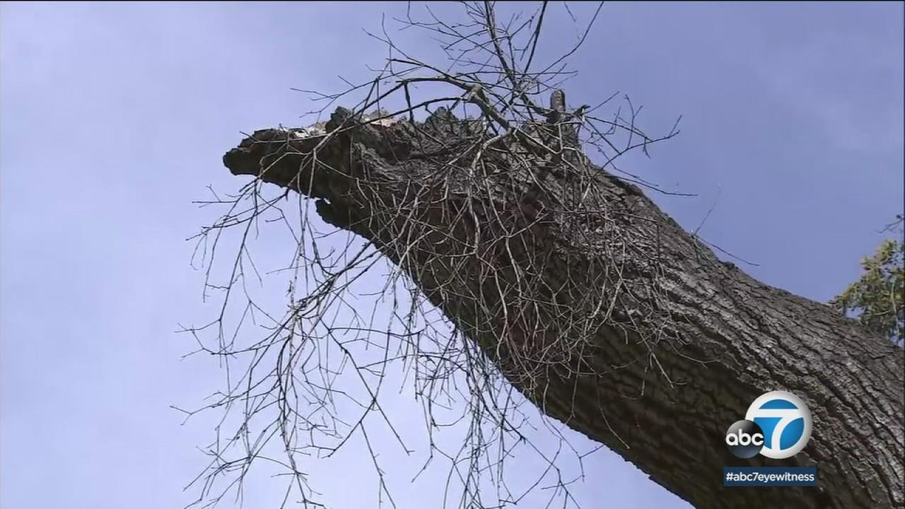 A mangled tree is shown in the Topanga State Park in the Santa Monica Mountains area.