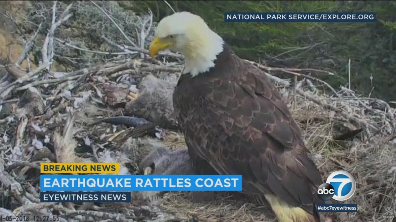 Three eagle chicks were rattled in their treetop nest on the Channel Islands Thursday after a 5.3-magnitude earthquake struck off the coast.