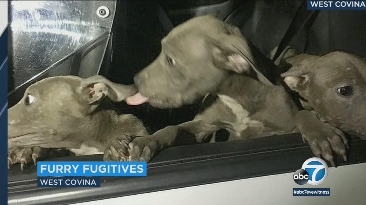 West Covina police tweeted out photos of three puppies officers found at Woodgrove Park.