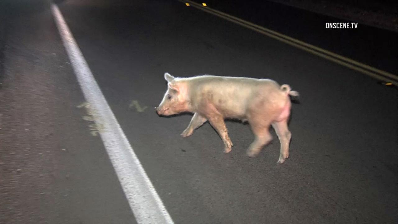 A wandering pig crosses a Santa Paula road with the help of California Highway Patrol officials.