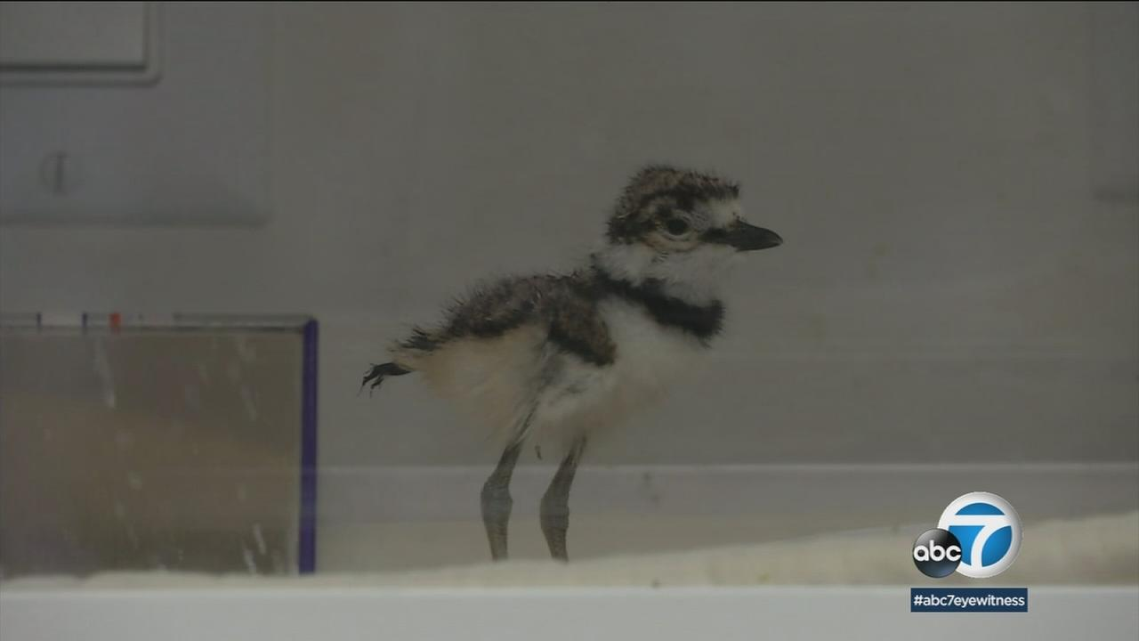 The Wetlands and Wildlife Care Center in Huntington Beach is celebrating the opening of a new facility dedicated to saving the snowy plover, an endangered species.