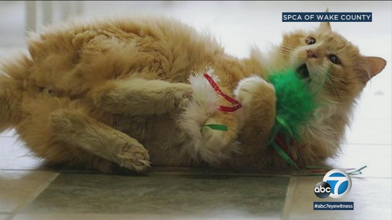 An undated photo of Toby, a North Carolina cat who walked 12 miles to his old him after they got rid of him.
