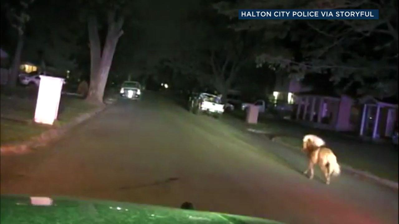 A mini-horse is shown fleeing from police in a Texas town.