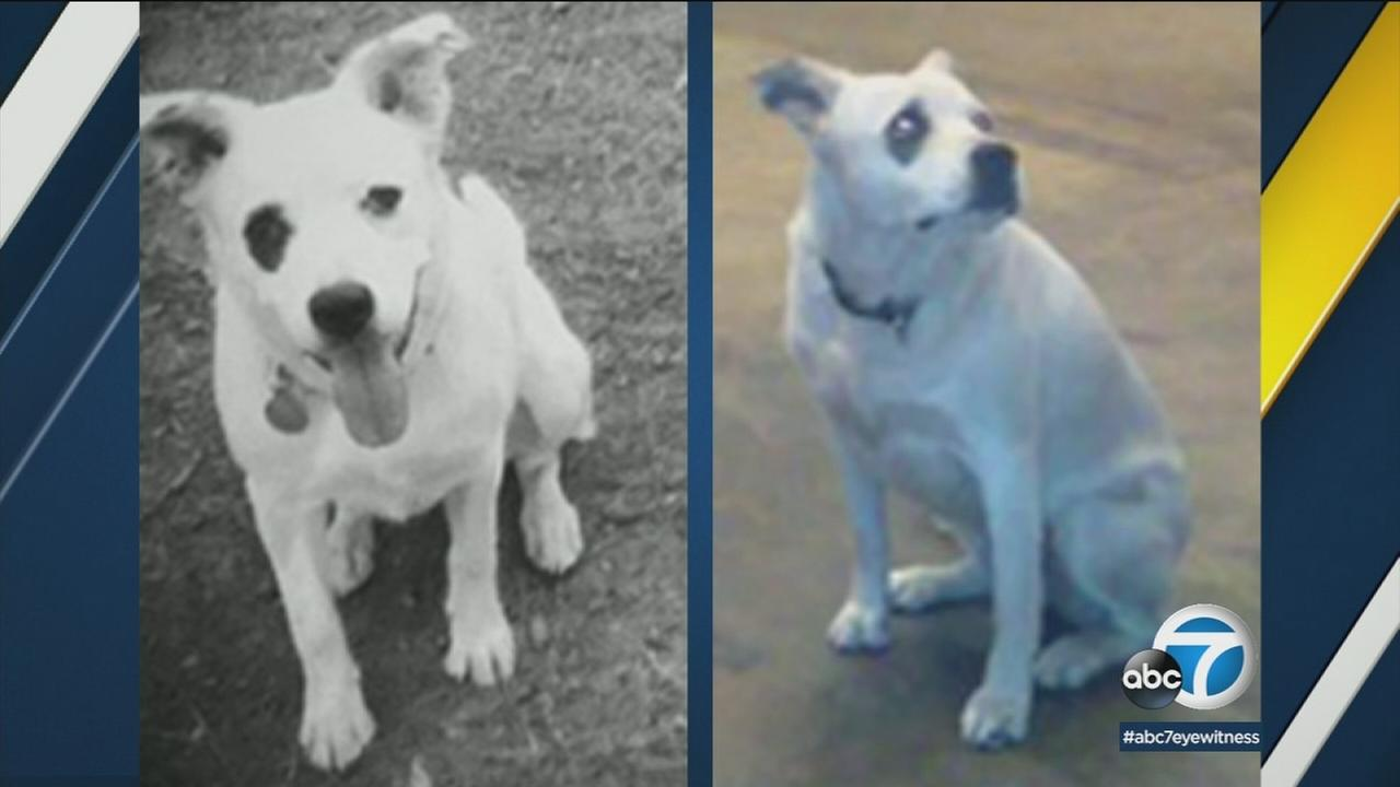 Panda, a dog who went missing after a car crash in East Los Angeles, is shown in old photos.